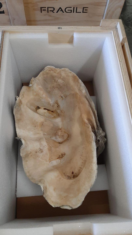 Sequestrate all'aeroporto Vespucci di Firenze conchiglie di Tridacna Gigas, un mollusco gigante a rischio estinzione