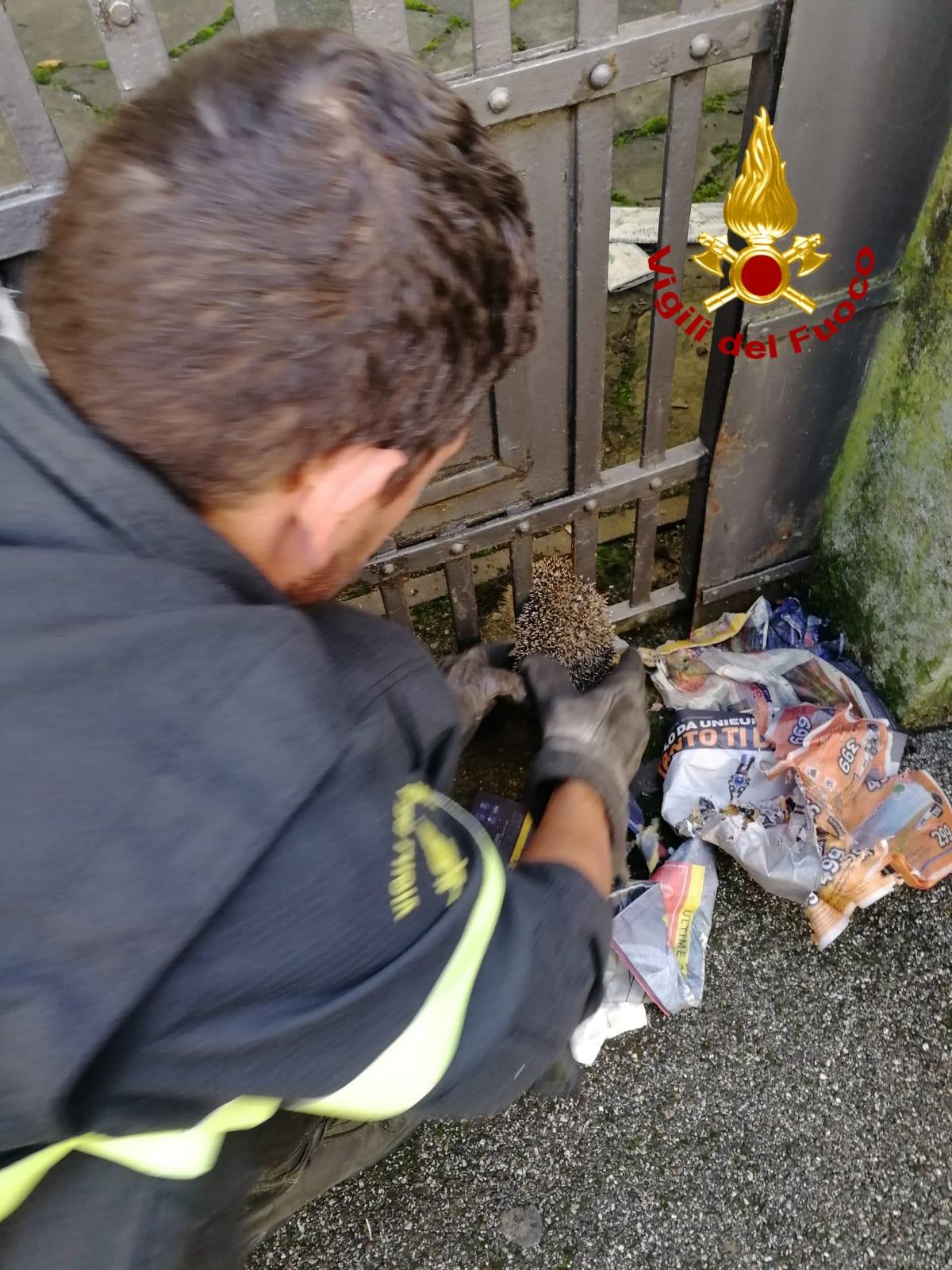 Avventura a lieto fine per il riccio rimasto incastrato in un cancello
