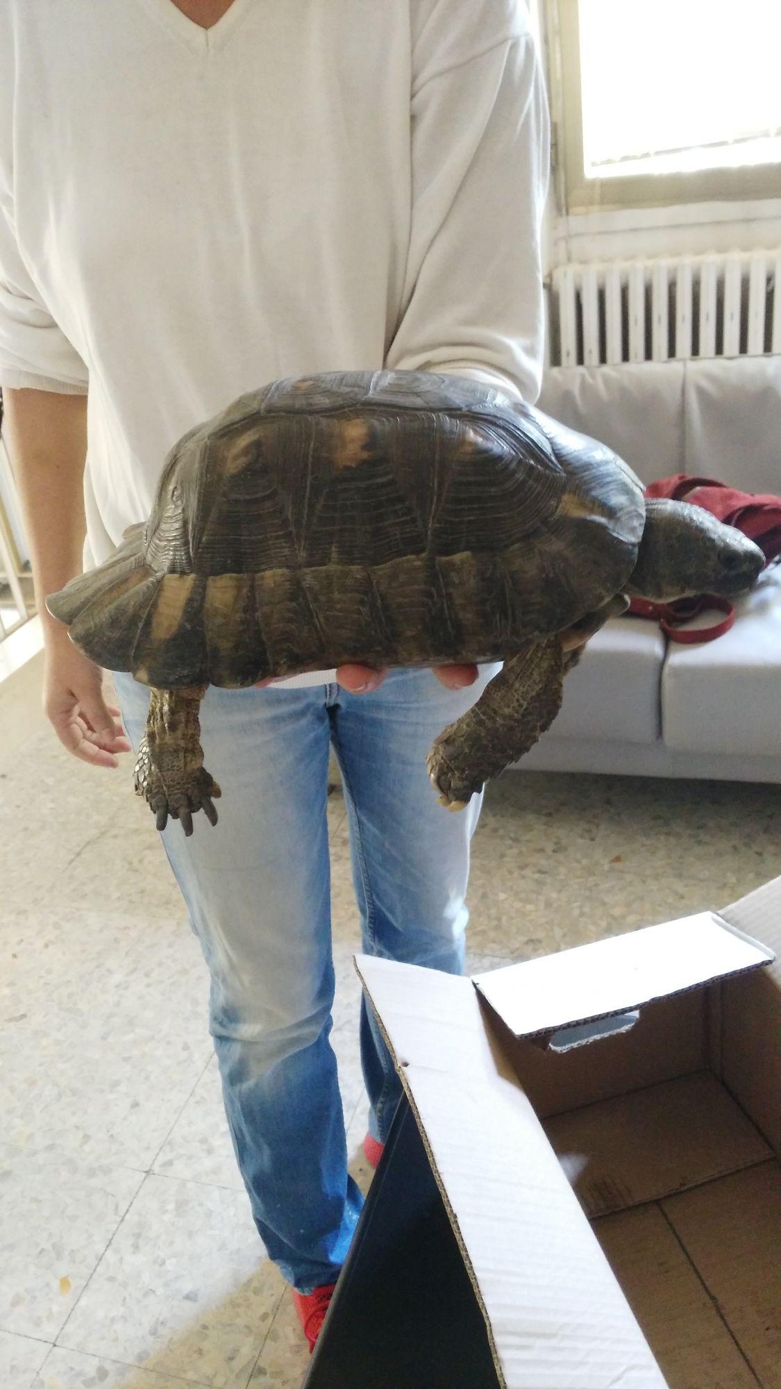 Tartaruga terrestre sarda trovata e consegnata ai Forestali