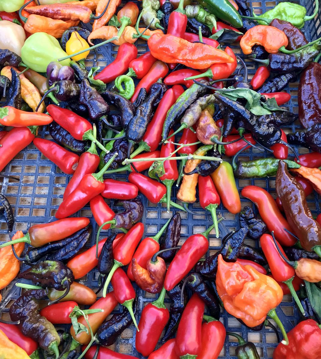 Festa Pic, il peperoncino torna protagonista a Camaiore
