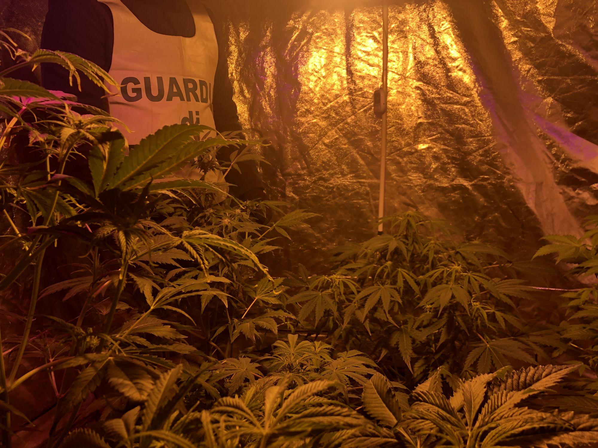 Coltiva cannabis nell'orto di casa a Camaiore, denunciato