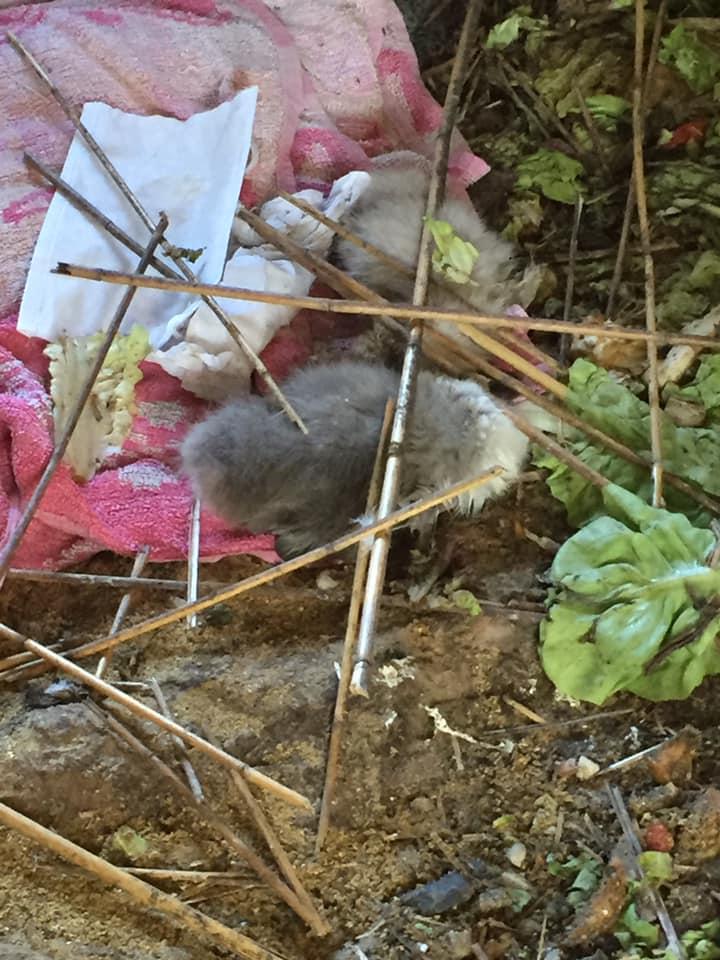 Crolla la passerella: morti Tina e Burlamacco, i due cigni appena nati
