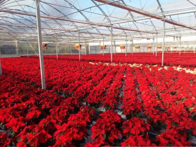Natale: la Versilia dei fiori e delle Stelle di Natale per il concerto del 25 dicembre