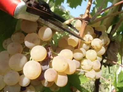 Vino: meno vendemmia con clima pazzo e ungulati (-15%), molto bene la qualità dei vini lucchesi