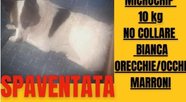 Smarrito cane a Marina di Pietrasanta il giorno 2 settembre